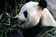 Панда Гу-Гу живет в зоопарке Пекина. // AP / Greg Baker