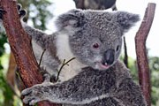 Обитатели австралийских лесов пострадали от пожаров. // ami-tass.ru