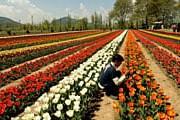 Царство тюльпанов Сирадж-Багх // daylife.com