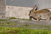 Популяция диких кроликов в Хельсинки сильно увеличилась. // helsinkippusa.files.wordpress.com