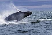 Наблюдение за китами привлекает множество туристов. // GettyImages