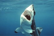 Число атак акул неуклонно снижается. // GettyImages