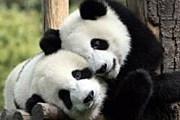 Панды могут покинуть зоопарк. // ami-tass.ru