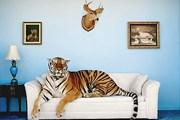 Индия заботится о тиграх. // GettyImages