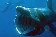 Гигантская акула // wikimedia.org / Chris Gotschalk