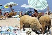 Овцы роются в мусоре на одном из албанских пляжей. // AFP / Gent Shkullaku
