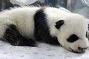 6-недельный малыш в зоопарке Чиангмая // AP