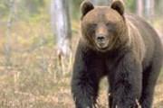 Бурые медведи стали появляться на туристических маршрутах. // z.lst.se