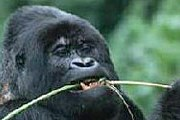 Уганда - одна из немногих стран мира, где можно наблюдать за гориллами. // floranimal.ru