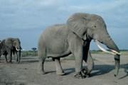 Засуха делает слонов уязвимыми для болезней. // Floranimal.ru