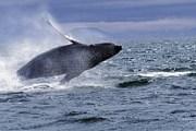 Осенью киты приплывают к Гавайям. // Travel.ru