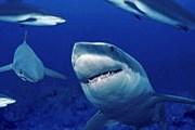 Активность акул возросла благодаря экологам. // ami-tass.ru