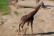 Туристы смогут понаблюдать за жирафами. // josefov-jaromer.cz