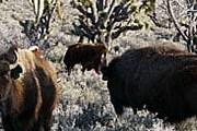 Бизоны жили на территории Гранд-Каньона несколько веков. // grandcanyonranch.com