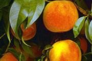 Туристы могут узнать, как выращивают персики. // darprirody.ru