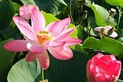 Диаметр цветка лотоса достигает 65 сантиметров. // rybovod.ru