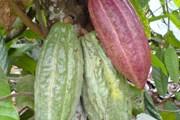 Так выглядят какао-бобы. // fanpop.com
