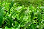 Уезд Посон славится зеленым чаем. // soterion.info