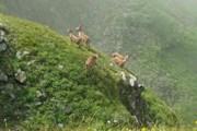 Стадо горных туров на склонах заповедника // Wikipedia