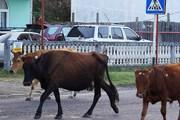 Коровы на улицах Аджарии - привычное явление. // Newsgeorgia