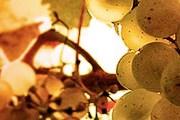 Гости смогут попробовать лучшие словацкие вина. // mvc.sk