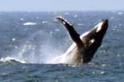 Китов у берегов Австралии можно будет увидеть в течение всей зимы. // Mark Doyle