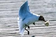 Чайки вырывают еду из рук горожан и туристов. // photosight.ru