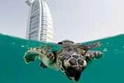 Черепаха возвращается в родную среду. // Jumeirah