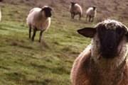 Овцы уничтожают экосистему степей. // manywallpapers.com