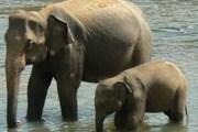 Предположительно, на Шри-Ланке обитает около четырех тысяч слонов. // puresrilanka.com