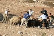 Туристы научатся пасти овец. // neot-kedumim.org.il