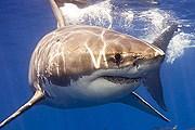 Большая белая акула – опасный хищник. // theredsea.ru