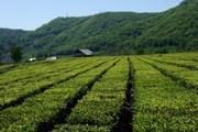 Плантации самого северного в мире краснодарского чая // priroda.su