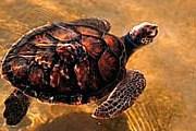 Морские черепахи откладывают яйца на пляжах отеля. // wwf.panda.org