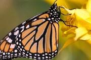 Зимовье бабочек в Мексике включено в список ЮНЕСКО. // macro-photo.org