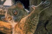 Лемурам на Мадагаскаре грозит опасность. // floranimal.ru