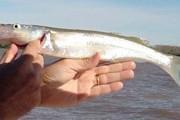 Атерина - небольшая рыбка тропических морей. // buenosaires.tur.ar
