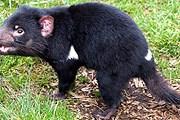Тасманийский дьявол – вымирающее животное. // iStockphoto / pamspix