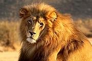 Парк львов появится в Крыму. // tvigle.ru