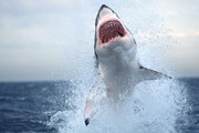 В акваторию Приморья пришли акулы. // nationalgeographic.com