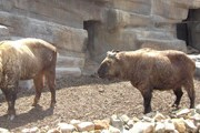В Бутане верят, что такин произошел от козла и коровы. // Wikipedia