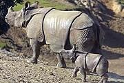 Редчайшие яванские носороги обитают в заповеднике. // indonesia.travel