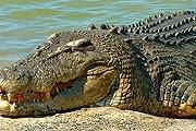 В Австралии – более 150 тысяч крокодилов // skitzone.com