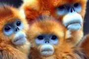 Золотые обезьяны - вымирающий вид. // cllctr.com