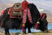 Родиной яков считается Тибет. // Wikipedia
