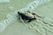 Черепахи могут появиться на любом кипрском пляже. // sayfayayaz.com