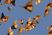 Бабочки-монархи / AP / Chip Taylor