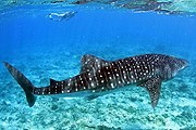 Китовая акула – крупнейшая рыба на Земле. // Conrad Maldives Rangali Island