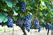 Туристы побывают на виноградниках. // masterfile.com