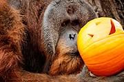 В зоопарк завезли тысячи тыкв. // blogs.ublabs.org